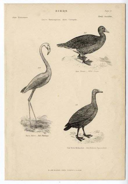 1864 BIRDS Red Flamingo Pigeon Goose PRINT FROM ENGRAVING (29)